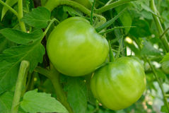 Young, unripe tomatoes grow among green leaves Royalty Free Stock Images