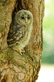 An young Ural Owl Royalty Free Stock Image