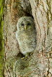 An young Ural Owl. Sitting Royalty Free Stock Images