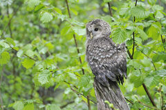 Young Ural owl Stock Images