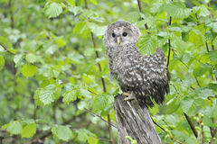 Young Ural owl Royalty Free Stock Images