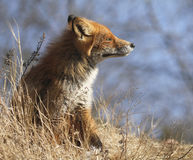 Young urban fox Royalty Free Stock Image