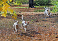 Young vagrant dogs Stock Images