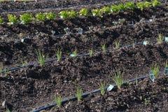 Young Vegetable in Garen Stock Photo