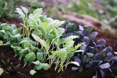 Young vegetable plants Royalty Free Stock Images