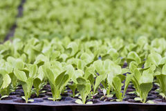Young vegetable seedlings Royalty Free Stock Image