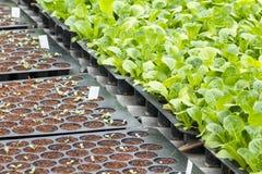 Young vegetable seedlings Stock Photo