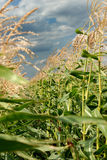 Young vegetation on a corn field Stock Photography