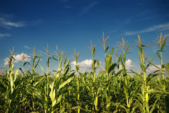 Young vegetation on a corn field Stock Photos
