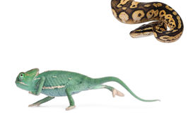 Young veiled chameleon, Chamaeleo calyptratus Stock Image