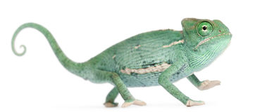 Young veiled chameleon, Chamaeleo calyptratus. In front of white background Royalty Free Stock Photos