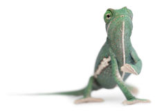 Young veiled chameleon, Chamaeleo calyptratus. In front of white background Royalty Free Stock Photography