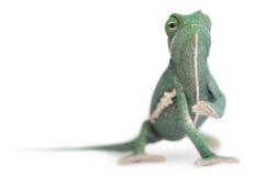 Young veiled chameleon, Chamaeleo calyptratus royalty free stock photography