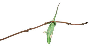 Young veiled chameleon, Chamaeleo calyptratus Royalty Free Stock Photography