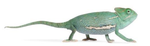 Young veiled chameleon, Chamaeleo calyptratus Stock Images