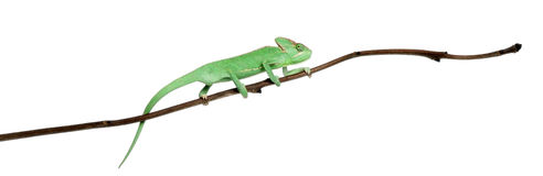 Young veiled chameleon, Chamaeleo calyptratus. In front of white background Stock Images