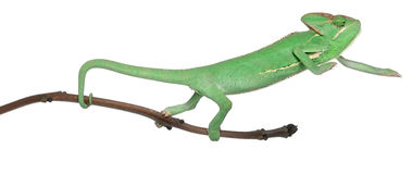 Young veiled chameleon, Chamaeleo calyptratus. In front of white background Royalty Free Stock Image