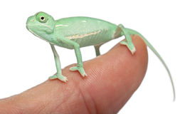 Young veiled chameleon on finger Stock Images