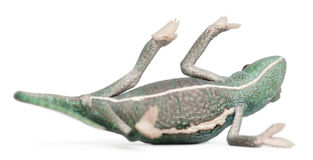 Young veiled chameleon lying on his back Stock Photos