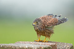 Young very wet kestrel Royalty Free Stock Photos
