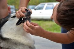 Young vet check outside the teeth to Alaskan Malamute, close up Stock Images