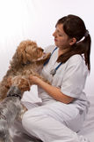 Young vet with two dogs. Young brunette hispanic woman wearing white scrubs and stethoscope sitting on the floor with two yorkshire terrier dogs royalty free stock images