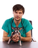 Young veterinarian doctor holding a chihuahua dog Royalty Free Stock Images