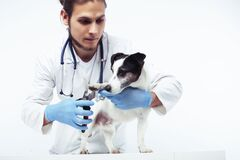 Free Young Veterinarian Doctor In Blue Gloves Examine Little Cute Dog Jack Russell Isolated On White Background, Animal Royalty Free Stock Images - 168837539