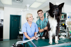 Young Veterinarian Doctors with Dog. Two veterinarians preparing a dog for surgery Royalty Free Stock Images