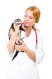 Young veterinarian examines a patient ferret. Female vet examines a patient ferret isolated Stock Image