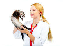 Young veterinarian examines a patient ferret Royalty Free Stock Image