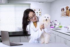 Young veterinarian examining cute dog. Portrait of young veterinarian examining cute dog by using stethoscope in clinic Royalty Free Stock Images