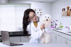 Young veterinarian examining cute dog Royalty Free Stock Images