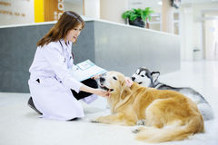 Young veterinarian at hospital Royalty Free Stock Images