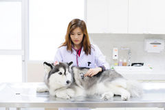 Young veterinarian at hospital Stock Photography