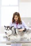 Young veterinarian at hospital. Young veterinarian examining cute siberian husky at hospital Royalty Free Stock Photos