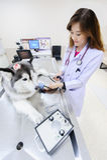 Young veterinarian at hospital. Young veterinarian examining cute siberian husky at hospital Royalty Free Stock Image