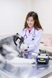 Young veterinarian at hospital. Young veterinarian examining cute siberian husky at hospital Royalty Free Stock Photography