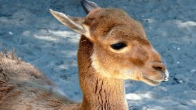 Young Vicuña stock photo