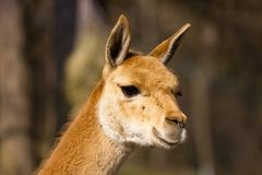 Young vicuna observing area Stock Photography