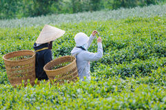 Young Vietnam tea pickers take picture with mobile phone Royalty Free Stock Photos
