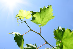 Young vine leaves Stock Image