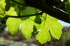 Young Vine Leaves Royalty Free Stock Photo