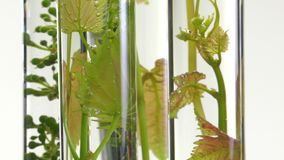 Young vine shoots in test tubes stock video