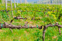 Young vine in the vineyard Royalty Free Stock Photography