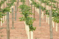 Young Vines Royalty Free Stock Photo