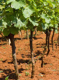 Young vineyard Stock Photos