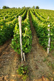 Young vineyard Stock Photography