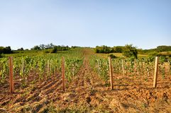 Young vineyard with arable land Royalty Free Stock Photography