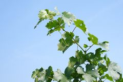 Young vineyard on the blue sky Royalty Free Stock Photography